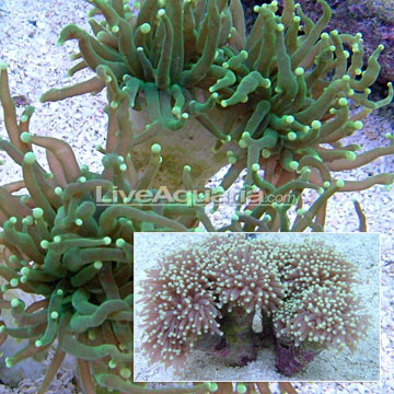 green torch corals